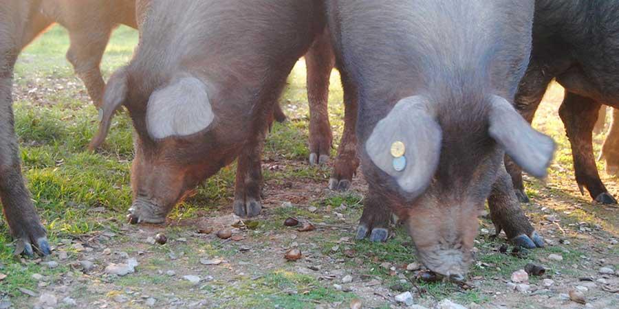 Bellotas para cerdos ibéricos