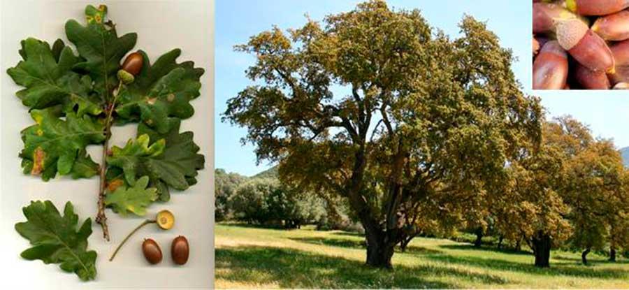 Árbol de las bellotas y su fruto