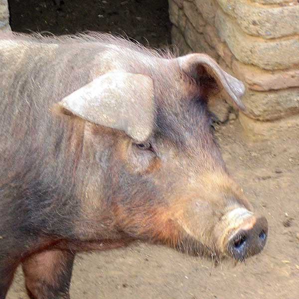 Cerdo de raza ibérica
