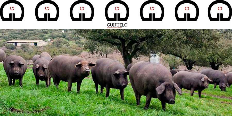 Piara de cerdos ibéricos de bellota en montanera en la dehesa