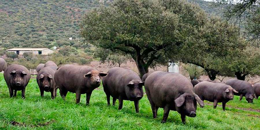 Dehesa con cerdos ibéricos en la zona de Guijuelo