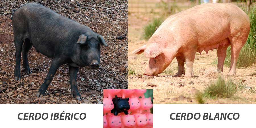 Cerdo ibérico vs Cerdo blanco