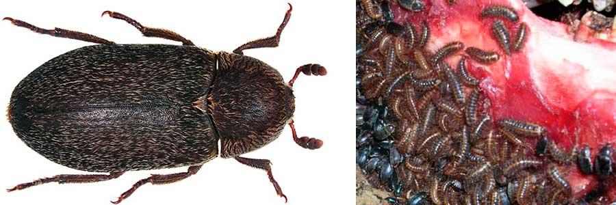 Gorgojo O Escarabajo Del Jamón Masquejamon Com